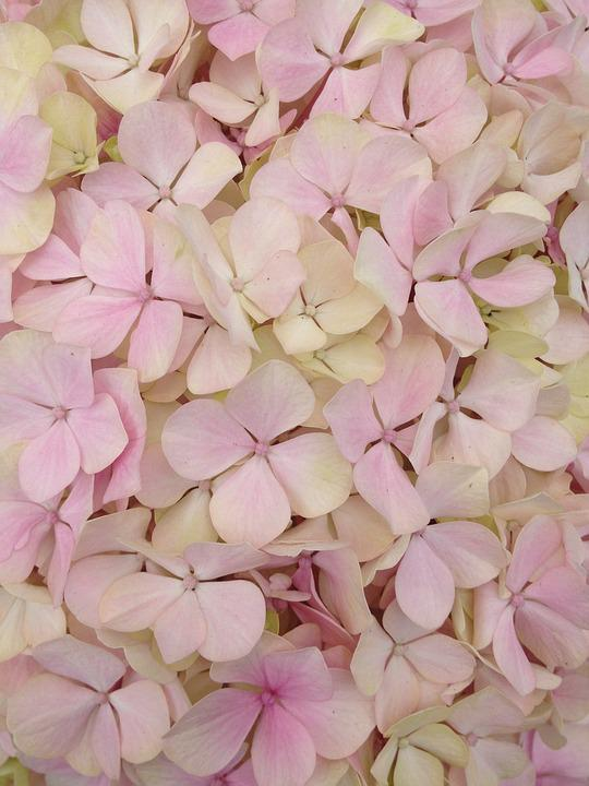 Flower, Texture, Hydrangea, Pink, Petals