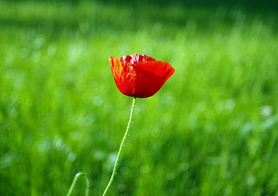 Poppy, Red, Flower, Meadow, Sunny, The Delicacy, Plant