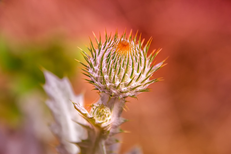 Thistle, Flower, Bloom, Blossom, Flora, Thistle Bloom