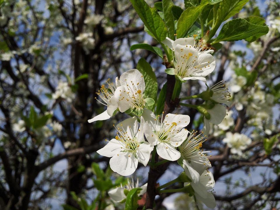 Tree, Flower, Plum