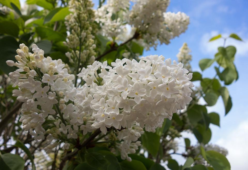 Lilac, Blossom, Flower, Tree, Branch, Spring, Flowers