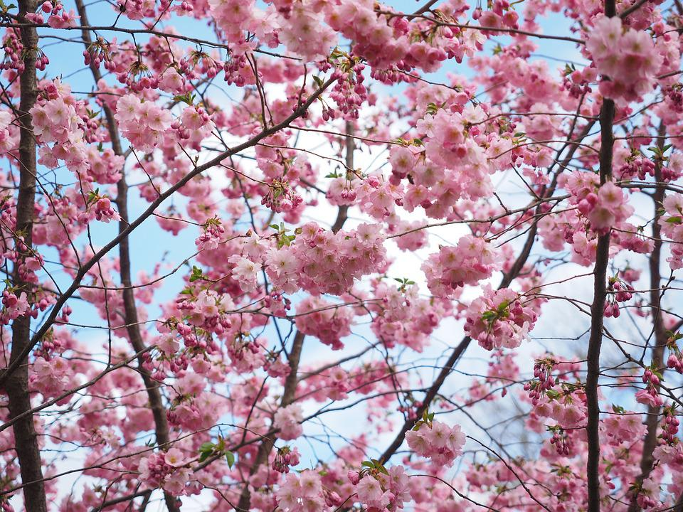 flowers pink tree flower tree japanese cherry trees