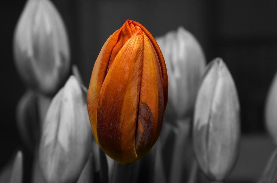 Orange, Tulip, Flower