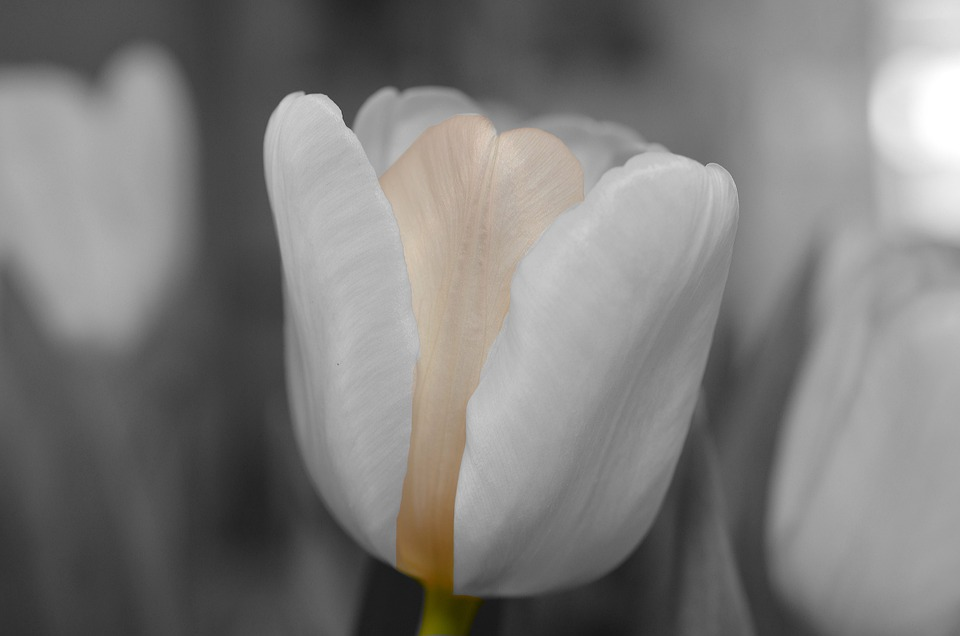 Flower, White, Tulip