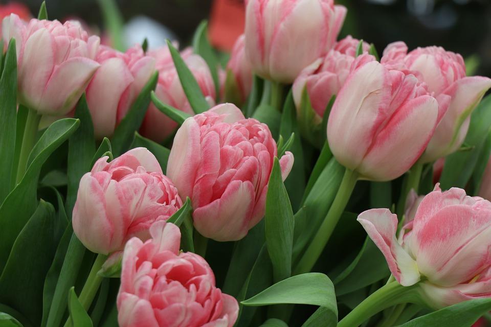 Tulips, Tulip, Flowers, Spring, Garden, Flower, Bloom