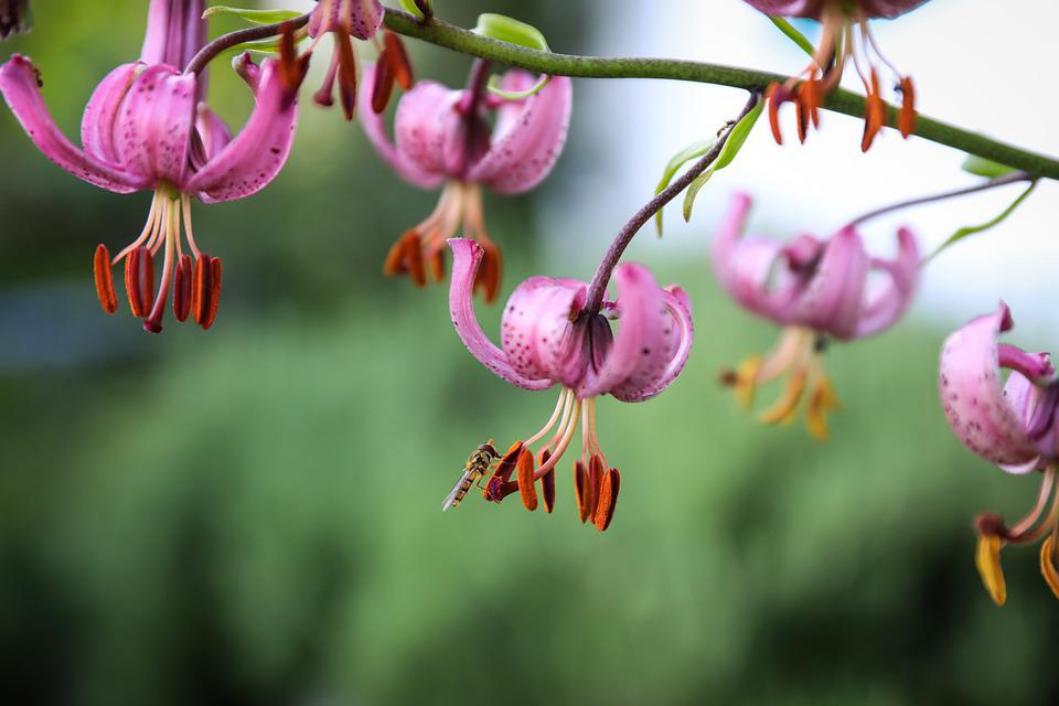 Lily, Turk's Cap Lily, Flower, Pink, Inflorescence