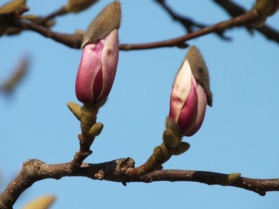 Magnolia, Nature, Spring, Flower, Plant, Twigs