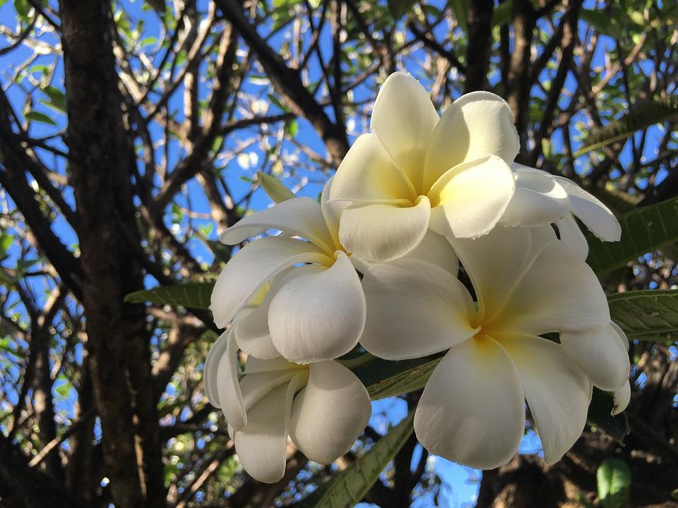 Valentine Flower, Plumeria, Flower