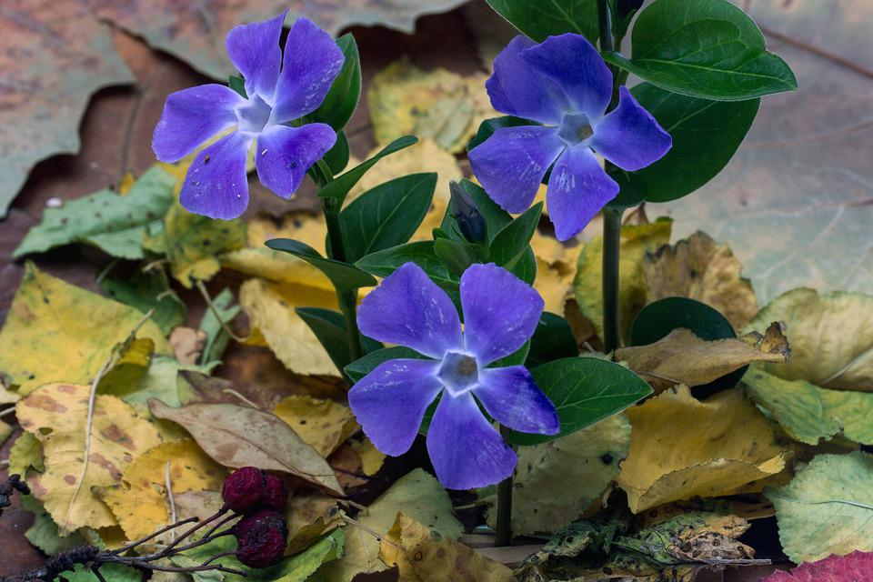 The Small Evergreen, Flower, Vinca Minor