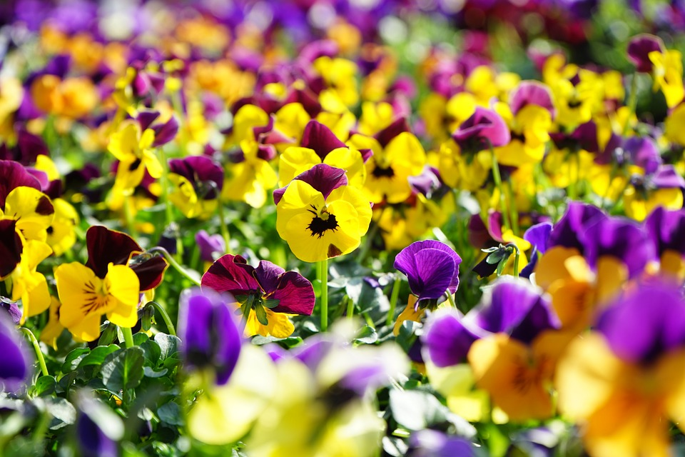 Pansy, Flower, Blossom, Bloom, Yellow, Violet, Viola