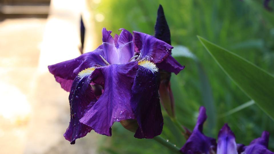 Iris, Purple Iris, Flower, Violet