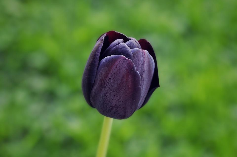 Tulip, Flower, Blossom, Bloom, Violet, Dark