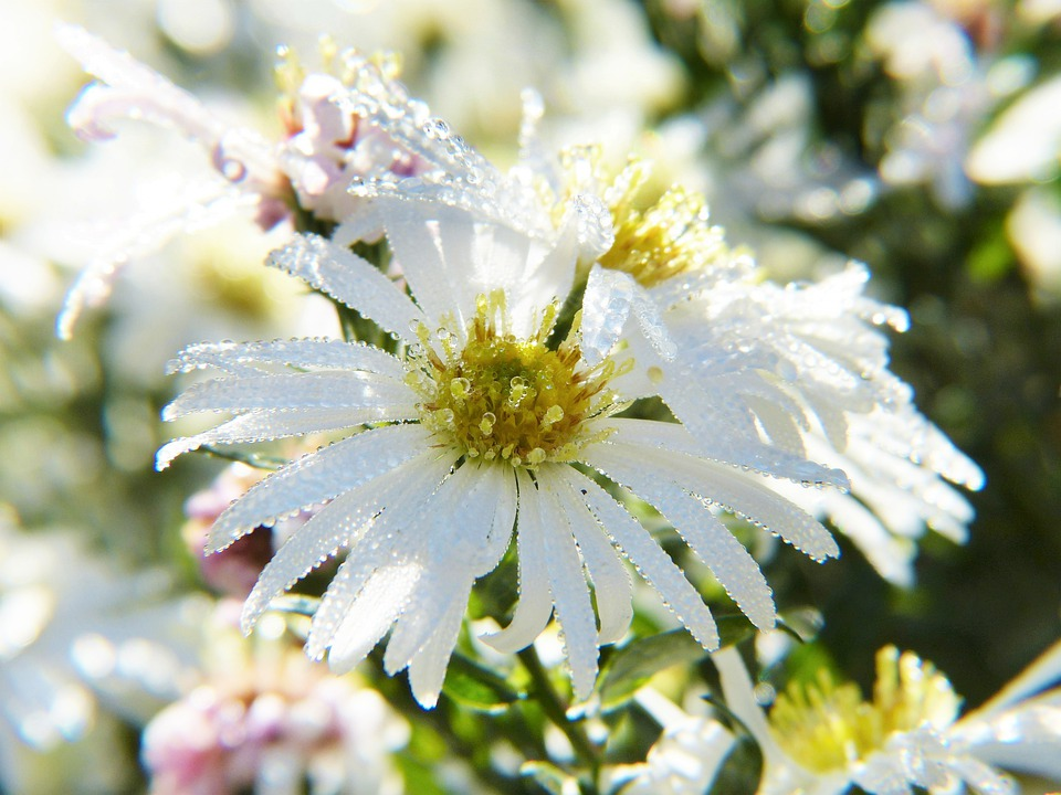 Asters, Flower, Blossom, Bloom, Sun, Water