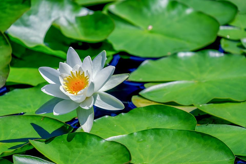 Water Lily, Aquatic Plant, Flower, Blooms, Pond Plant