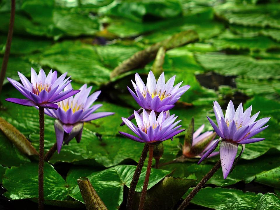 Water Lily, Flower, Pond, Aquatic, Purple, Water, Bloom
