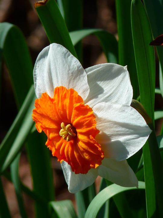 Narcissus, White, Flower, Plant, Blossom, Bloom