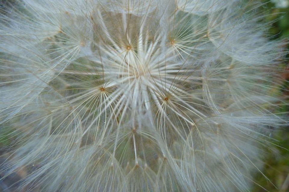 Dandelion, Flower, White, Plant