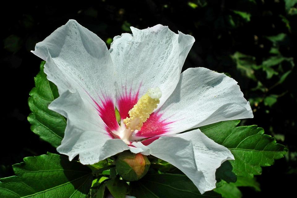 Hibiscus, Flower, White, Hibiscus Syriacus, Garden