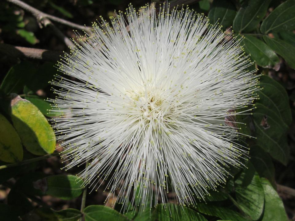 Powderpuff, Flower, White, Hawaii