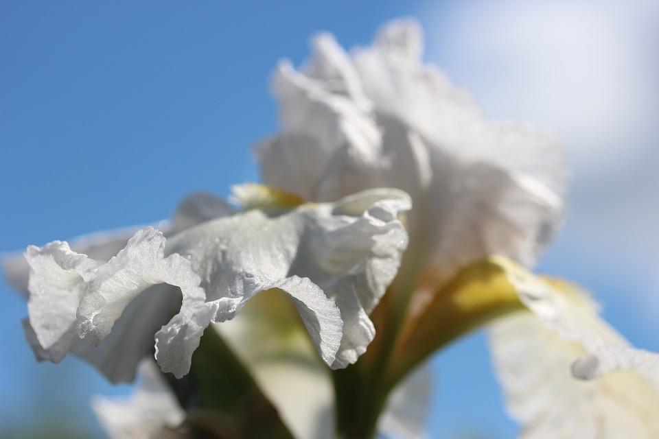 Blossom, Bloom, White Iris Flower, Plant, Flower