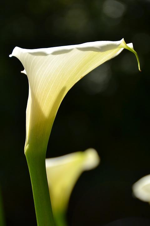 Flower, South Africa, White Lily