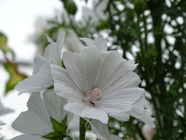 Mallow, Musk Mallow, Flower, Blossom, Bloom, White