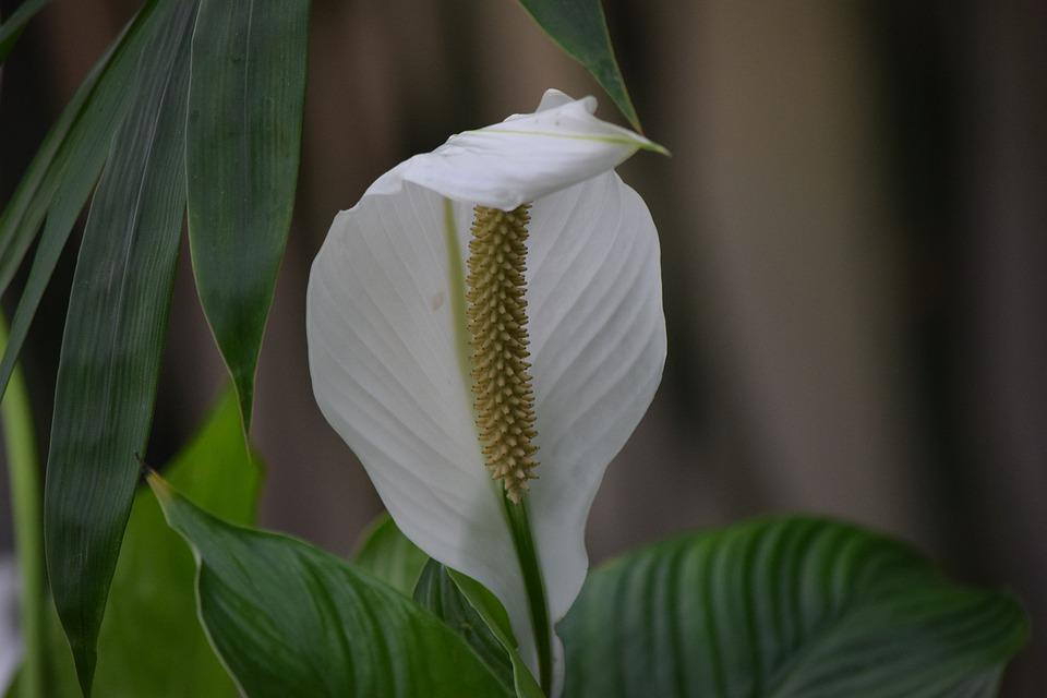 Flower, White, Peace Lilly