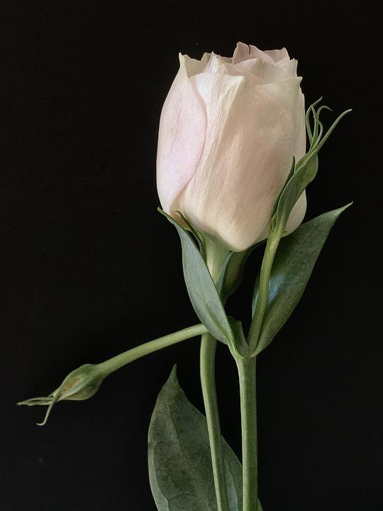 White Flower, White Petals, Flower, White, Petals