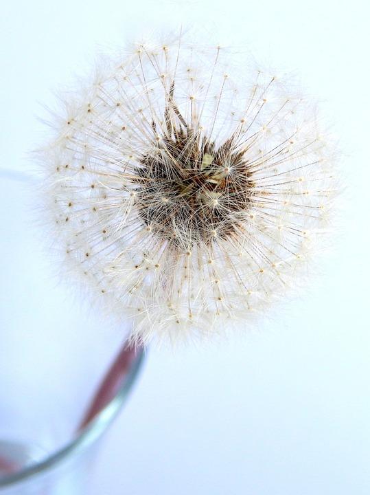 Pupava, Flower, White, Flora, Summer, Nature