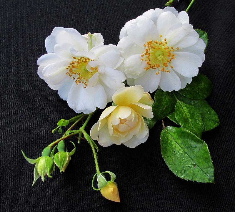 Rose, White, Flower