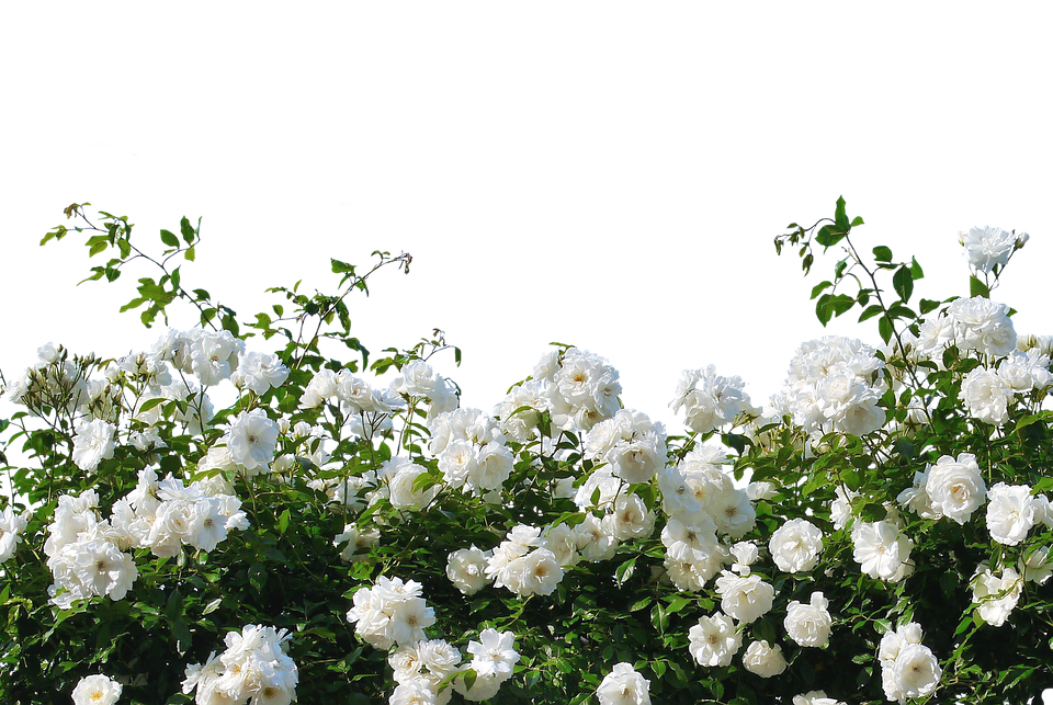 Roses, White Roses, Nature, Blossom, Bloom, Flower