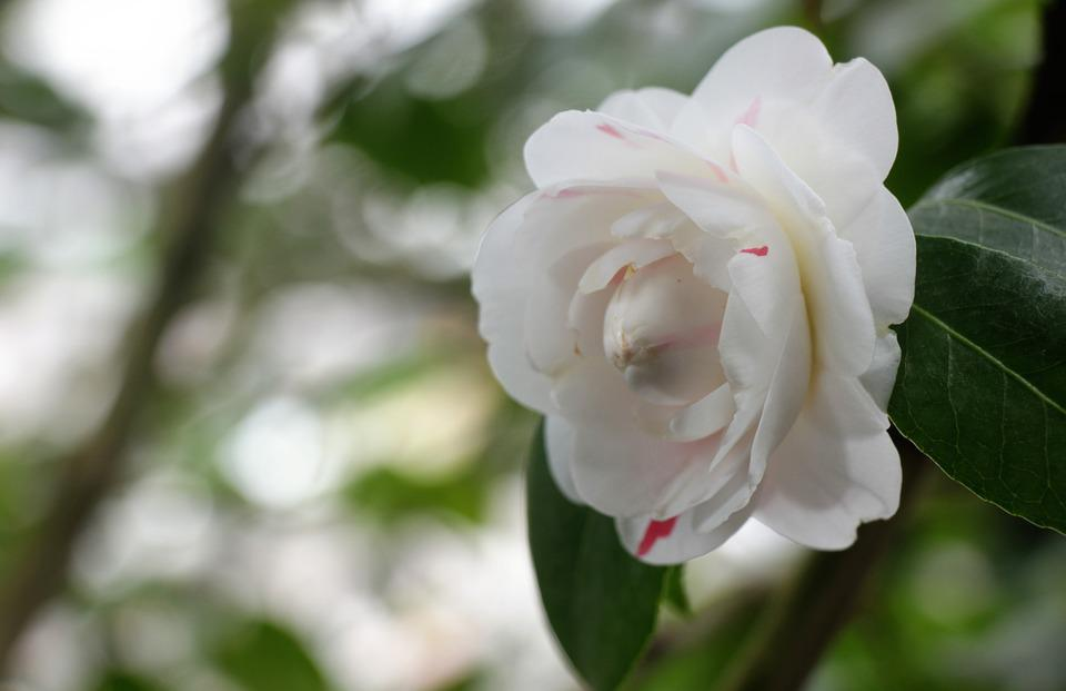 Flower, White, Bloom, Spring, Flora, Garden
