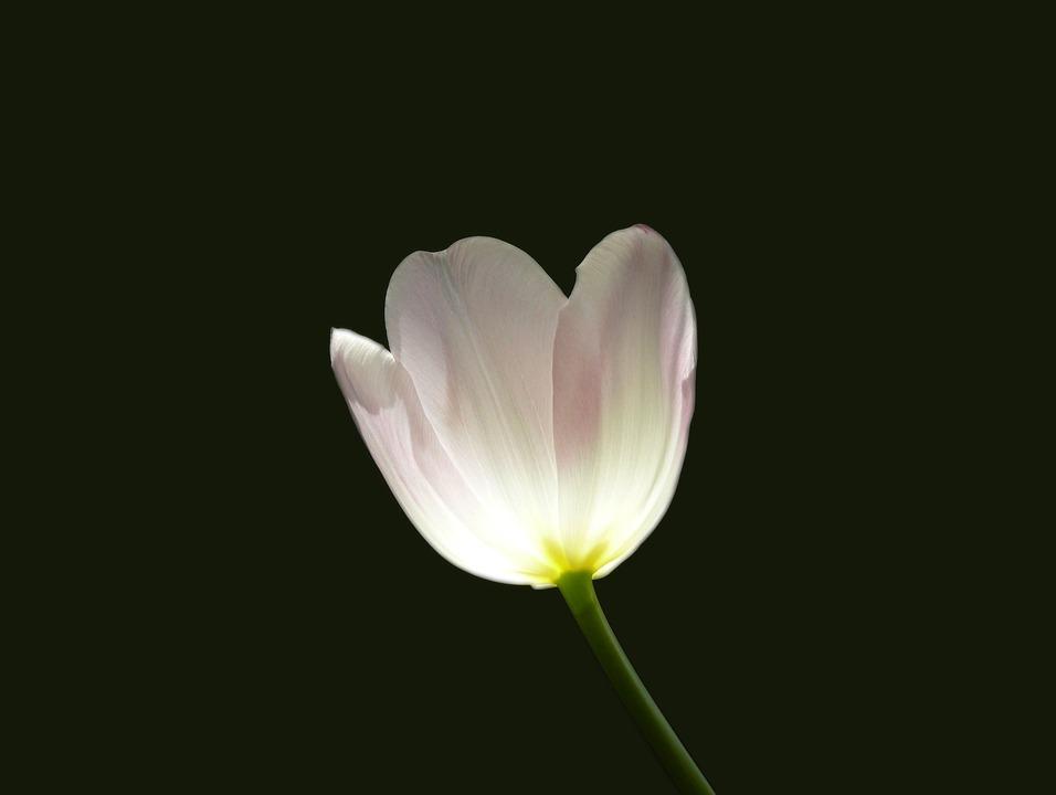 Tulip, Flower, Spring, Rose, White