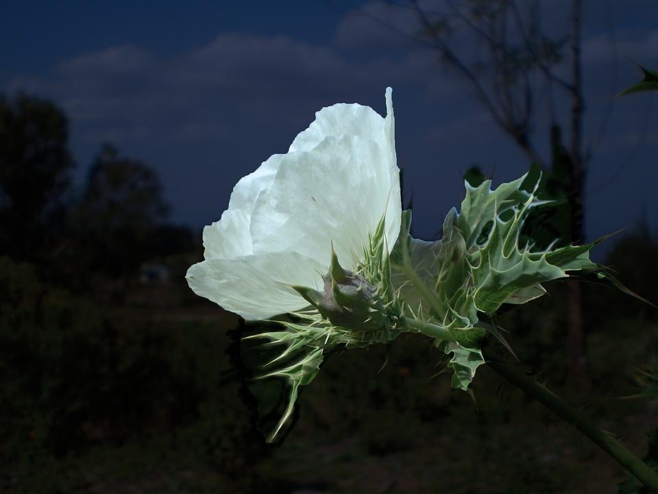 Free photo flower white thistle night max pixel flower white night thistle mightylinksfo