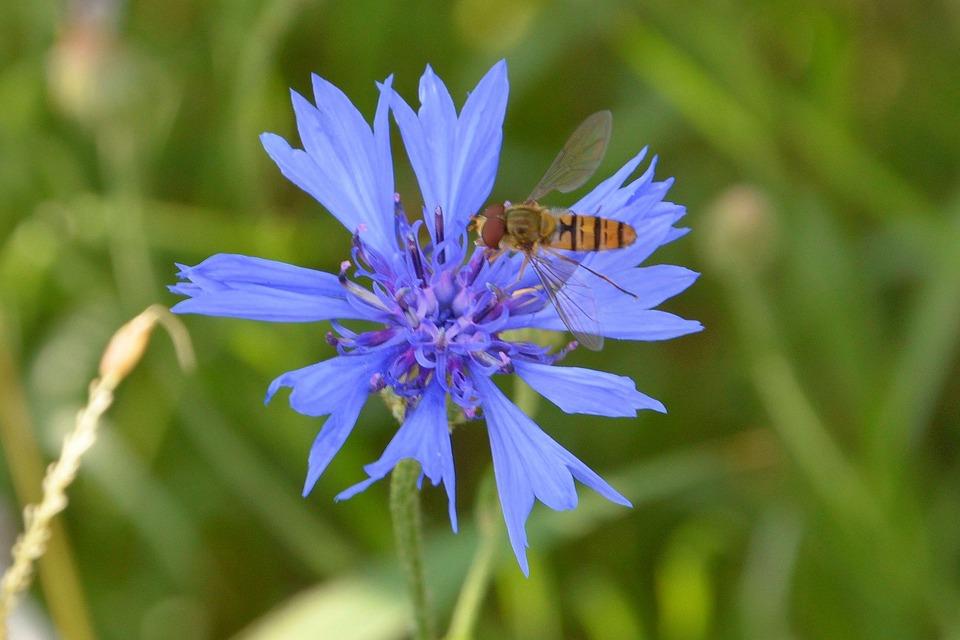Cornflower, Blue, Wild Bee, Wild Flower, Flower
