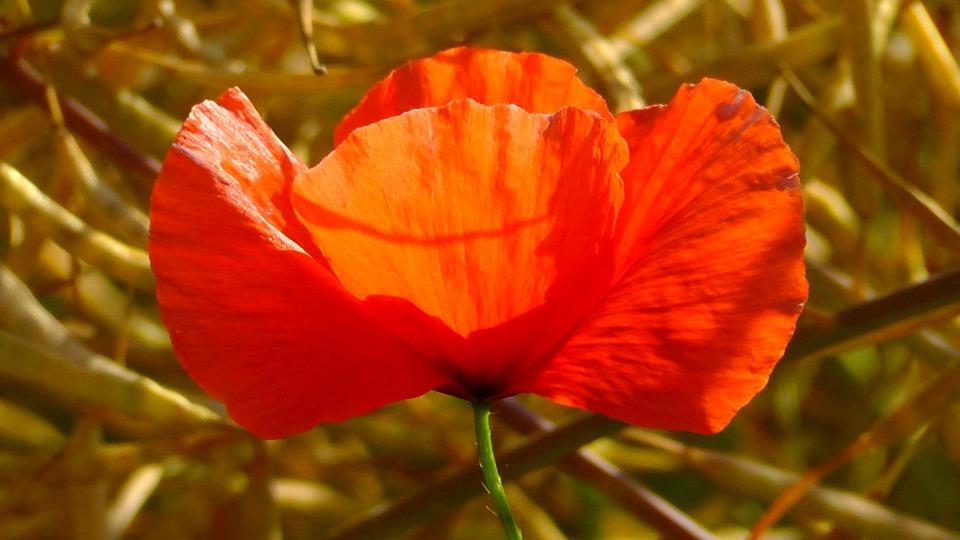 Poppy, Flower, Red, Wild Flowers, Summer Meadow