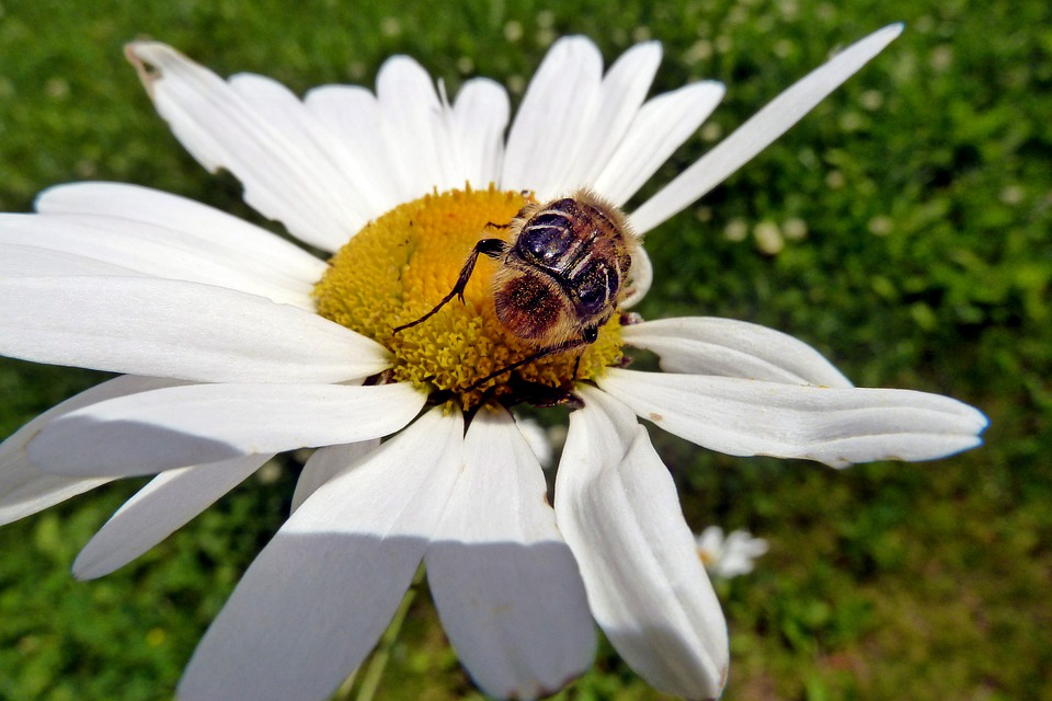 Daisy, Wild, Flower, Bug, Insect, Animal, Nature