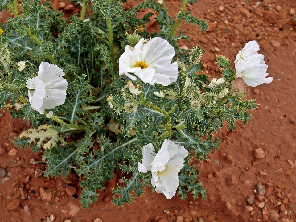 Wildflower, Mexican Poppy, Flower, Yellow, Desert