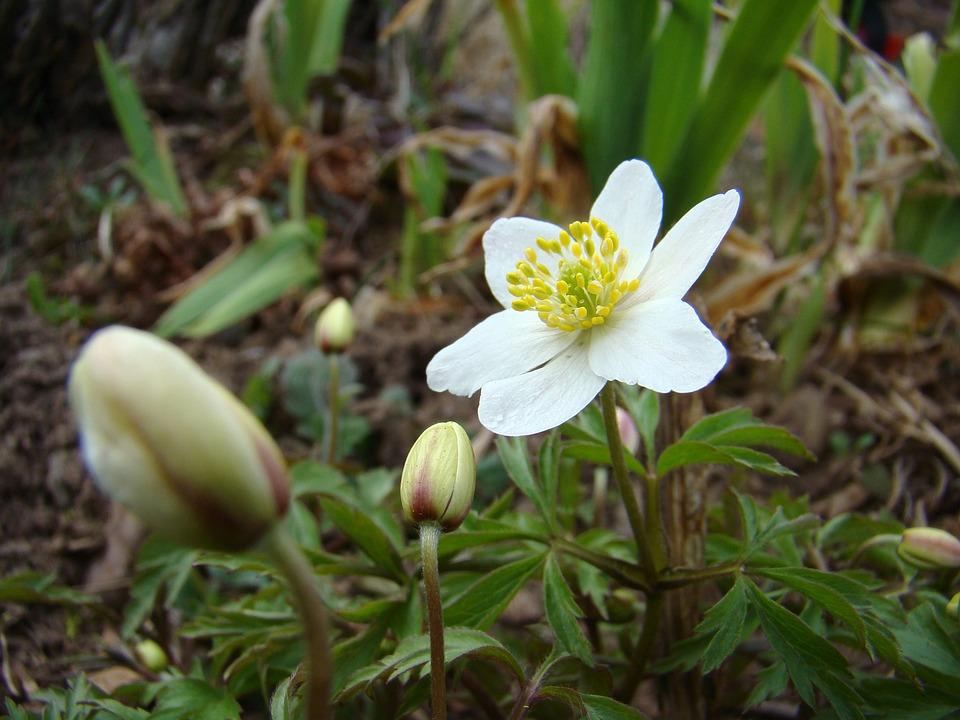 Wood Anemone, Flower, Spring Flower