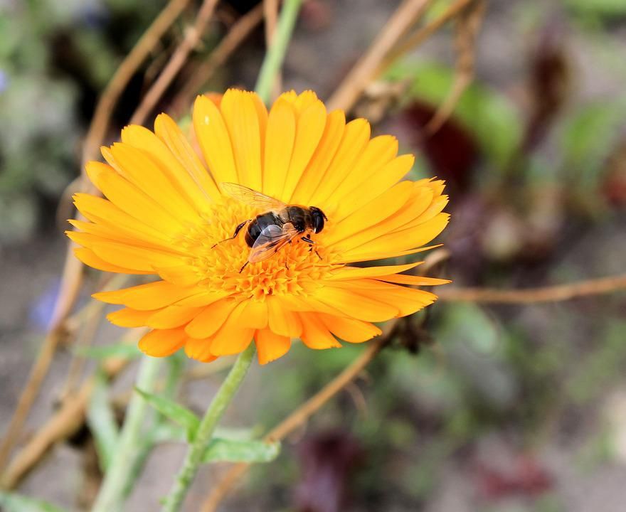 Marigold, Yellow, Fly, Yello, Flower, Nature, Bug