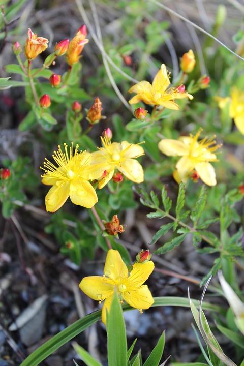 Alpine Plants, Flower, Yellow