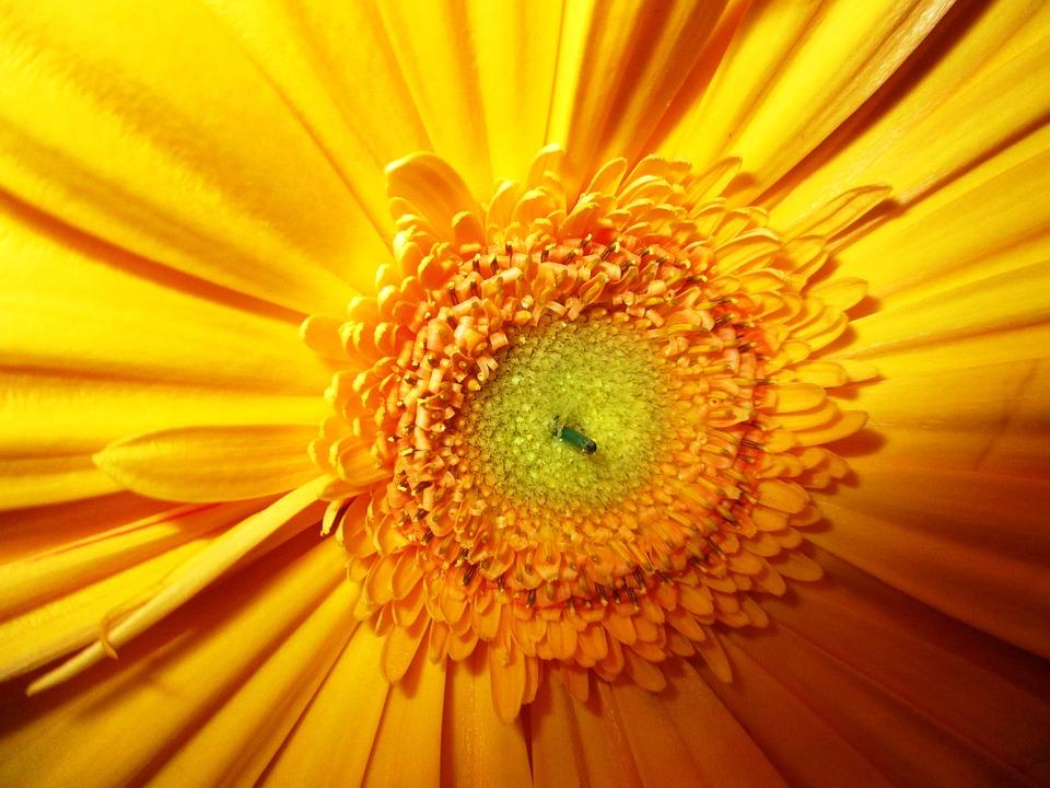 Gerbera, Flower, Blossom, Bloom, Yellow