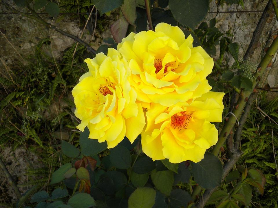 Flower, Blossom, Bloom, Rose, Yellow