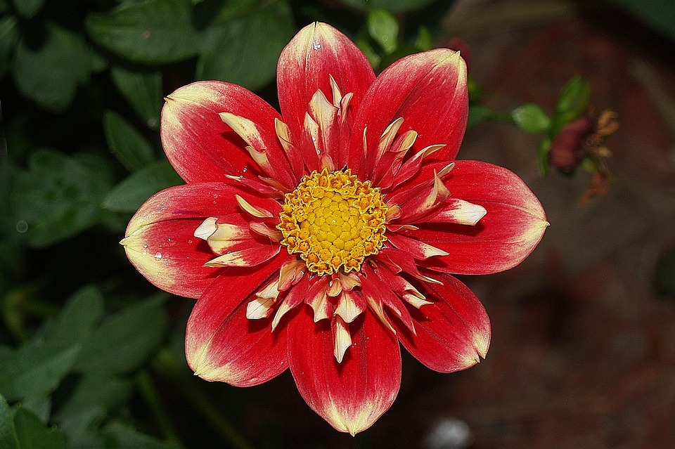 Flower, Dahlia, Red, Yellow, Bloom, Blooming, Plant