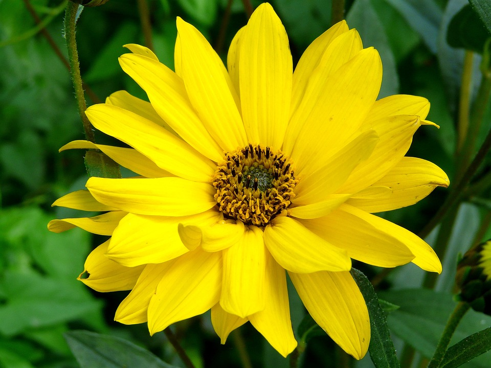 Free photo flower yellow blossom bloom medicinal plant arnica max arnica blossom bloom yellow flower medicinal plant mightylinksfo