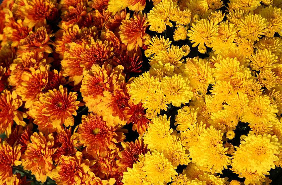 Yellow Chrysanthemums, Chrysanthemum, Bloom, Flower