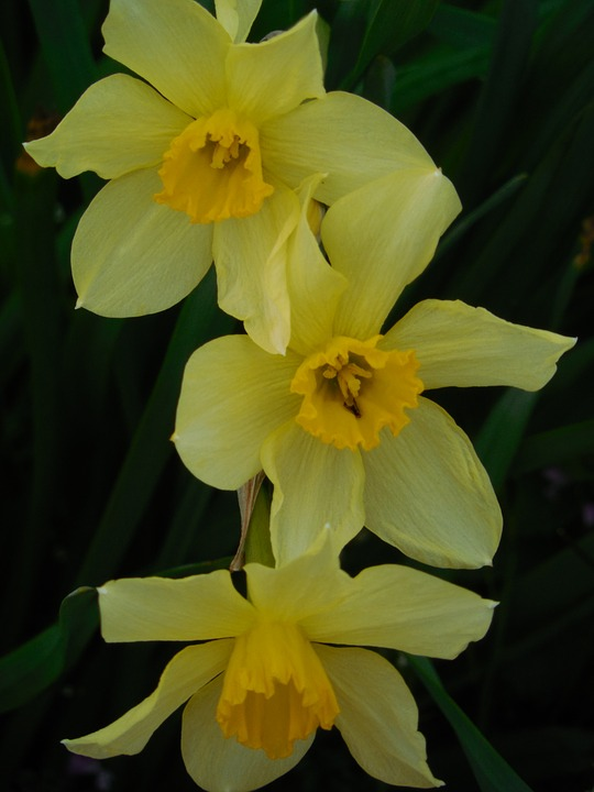 Spring, Daffodil, Flower, Narcissus, Green, Yellow