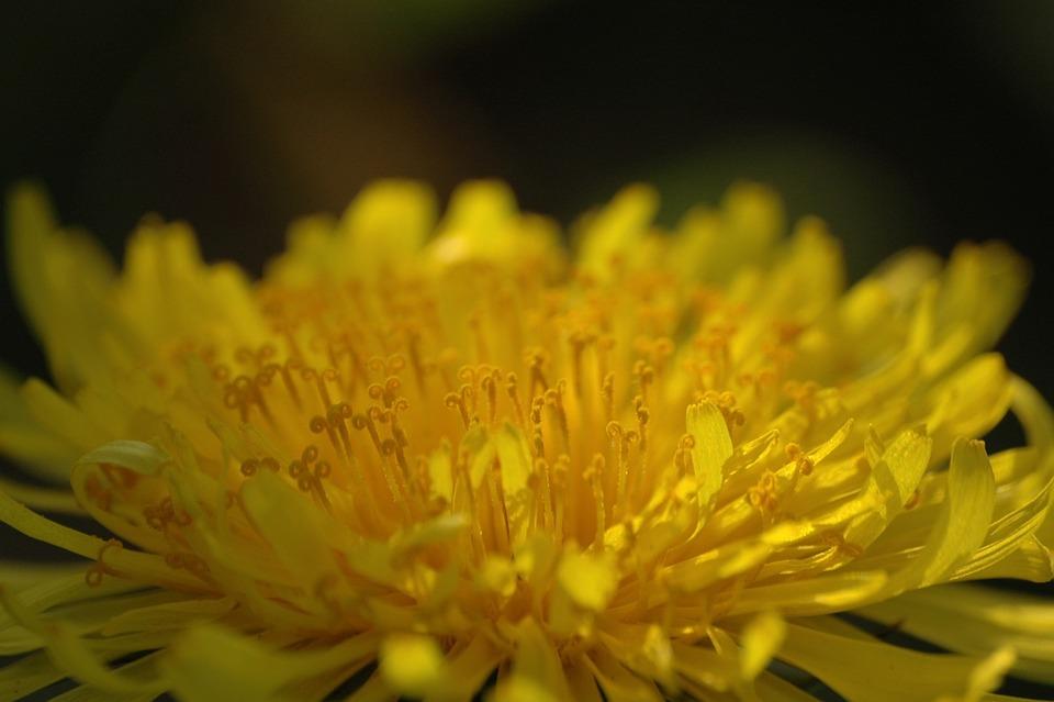 Dandelion, Flower, Yellow