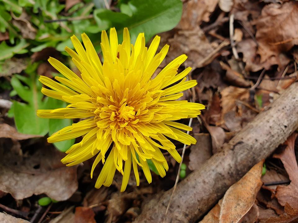 Dandelion, Plant, Flower, Yellow, Meadow, Grass, Green