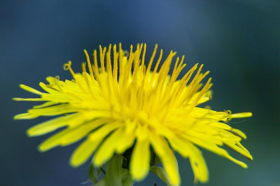 Dandelion, Pupava, Nature, Yellow, Flower